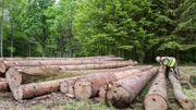 Coupes de bois dans la forêt Bialowleza