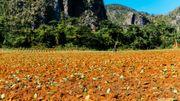 Agriculture traditionnelle et manuelle au pied des montagnes de Viñales, le tabac est planté en ce moment et récolté en février.