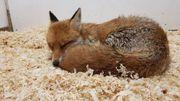 Theux: un centre de revalidation pour animaux vivant à l'état sauvage lance un appel à l'aide