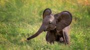 "Pairi Daiza : l'éléphant ""Saraya"" aura peut-être un bébé pour Noël"