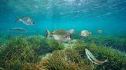 La posidonie, trésor écologique sous-marin comparable aux forêts tropicales