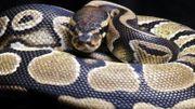 C'est tellement facile d'acheter un serpent …