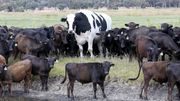 Un bœuf géant d'Australie devient la mascotte d'Internet