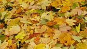 Au jardin Massart, les feuilles mortes se ramassent à la pelle ... et se récupèrent au potager