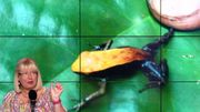 Animal étonnant: la grenouille de Gardiner entend… par la bouche !