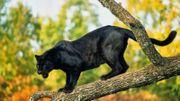 Savez-vous pourquoi la panthère noire est…noire ?