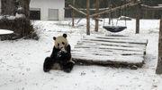 La neige fait le bonheur des pandas de Pairi Daiza