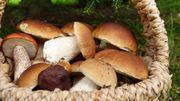 Pourquoi certains champignons se cultivent et d'autres pas