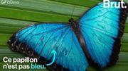 Pourquoi certains papillons nous paraissent-ils bleus?