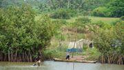 Des mangroves dont il ne reste parfois plus grand chose