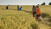 Sans l'investissement d'observateurs bénévoles, du DNF, du Parc naturel, et des agriculteurs, les jeunes busards ne se seraient jamais envolés;