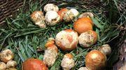 Dinant : L'amanite des césars, le roi du champignon trouvé chez nous