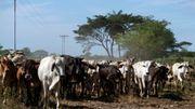 Dans un Venezuela en crise, l'élevage se transforme en une activité à risques
