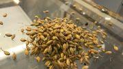 La malterie produit une septantaine de variétés de malt