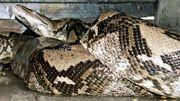 Le corps d'une femme découvert intact dans le ventre d'un python géant