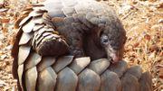Le pangolin, l'animal qui tient sa vengeance sur les humains