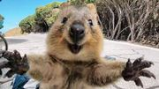 Le Quokka: l'animal le plus heureux du monde