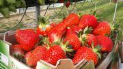 Herve: déclinaisons autour des fraises par Irène Brône