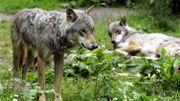 Des membres d'une meute de loups de la forêt.