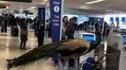 USA: ce photographe essaie d'embarquer son paon dans un avion