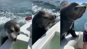 Ce lion de mer s'invitesur les bateaux de pêcheurs à l'heure de table