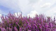 La plante du mois : La Bruyère