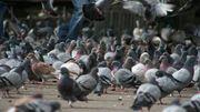 Extermination des pigeons à Charleroi !
