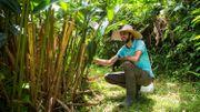 En Martinique, les plantes médicinales se modernisent pour soigner les maux