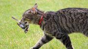 Comment pousser son chat à tuer moins d'animaux sauvages ? Son régime alimentaire pourrait aider !