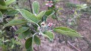 Le gel peut être fatal pour les jeunes fleurs des pommiers