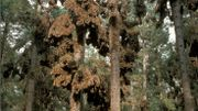 Monarques (Danaus plexippus) accrochés aux arbres dans l'aire d'hivernage, hautes terres du Mexique (3500 m d'altitude)