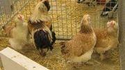 Concours provinciaux de petit élevage à Battice-Herve