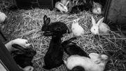 l'élevage de lapins