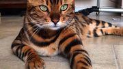 Thor le bengal, le chat belge qui a mis le web à ses pattes