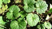 Recette de salade de lentilles au lierre terrestre