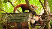 Philippine a testé pour vous le métier de soigneur du panda roux !