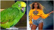 Un perroquet devient la star des réseaux sociaux en chantant du Beyoncé