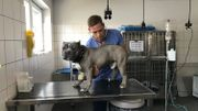 Cet american staff l'a échappé belle : le vétérinaire l'a sauvé d'un gros coup de chaleur