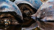 Les fameuses tortues géantes, emblèmes des Îles Galápagos, peuvent vivre jusqu'à 150 ans.