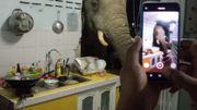 Un éléphant s'introduit dans une cuisine et un ours soupçonné d'être un délinquant en série