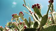 Au Mexique, on transforme les cactus en biocarburant