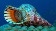 Un gastéropode géant à la rescousse de la Grande barrière de corail