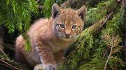 Le lynx reste tout le temps sur ses gardes