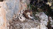 bébés vautours fauves bien accrochés !