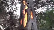 Californie : l'arbre qui brûlait de l'intérieur...
