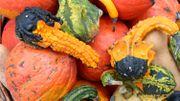 Après Halloween, ne jetez pas vos citrouilles, donnez les restes à manger aux animaux