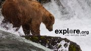 Google Earth x Explore.org : la vie privée des ours