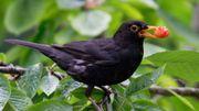 Comptons les oiseaux qui viennent manger aux jardins!