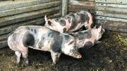 Les porcs piétrains resteront dans leur porcherie chez Henri Stas. Ils ne peuvent pas participer à la foire de Libramont à cause de la peste porcine africaine.