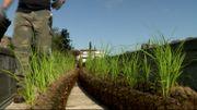 Les plantes hélophytes déjà bien enracinées dans la fibre de coco